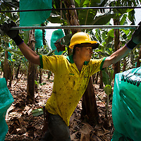 A worker pushes a line of organic Fairtrade bananas along a cable run at a plantation of APPBOSA in Peru.