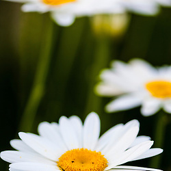 Daisies in a Portsmouth, New Hampshire garden.