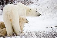 01874-109.13 Polar Bears (Ursus maritimus) female & 2 cubs near Hudson Bay, Churchill  MB, Canada