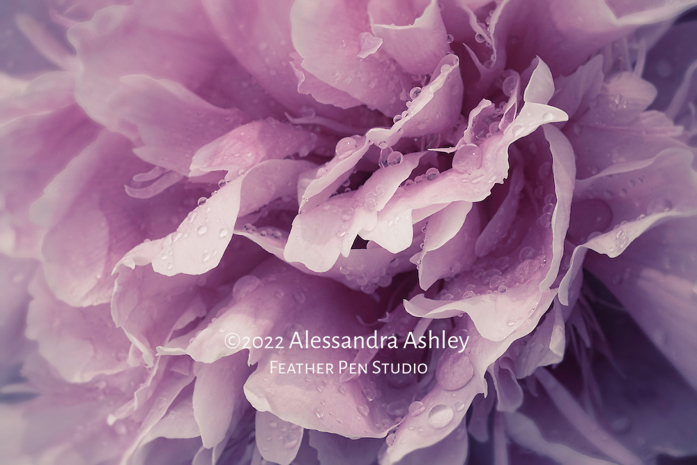 Macro floral portrait, giant double peony blossom after rain.