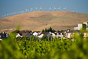 The wind turbines of the Altamont Pass Wind Farm overlook the homes and vineyards of Livermore, California. The wind farm boasts the largest concentration of turbines in the world, with a total generating capacity of 576 Megawatts, but these smaller units are considered obsolete and being replaced with larger, more modern units.