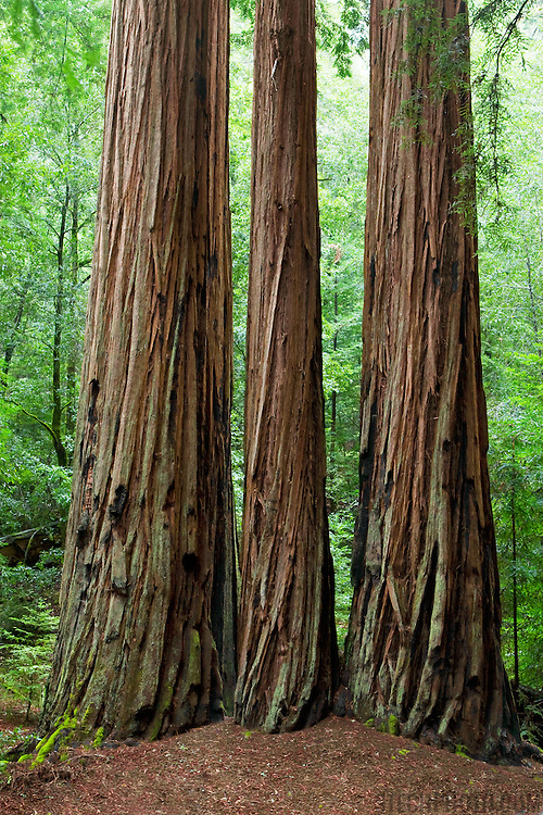 Three redwood trees (Sequoia semperviren) in Big Basin Redwoods State Park, Santa Cruz County, California. This is the oldest state park in California dating back to 1902. This ancient species of redwood can grow to a height of 367 feet (122 m) and at it's base have a width of 22 feet (7m).<br /> <br /> + ART PRINTS +<br /> To order prints or cards of this image, visit:<br /> http://greg-stechishin.artistwebsites.com/featured/big-basin-redwoods-greg-stechishin.html