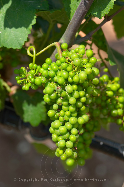 Unripe grapes. Chardonnay. Ktima Pavlidis Winery, Drama, Macedonia, Greece