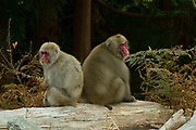 Japanese macaque (Macaca fuscata), also known as the snow monkey, Grooming each other. Photographed on Kinkasan (or Kinkazan) island in Miyagi Prefecture in north-eastern Japan in November