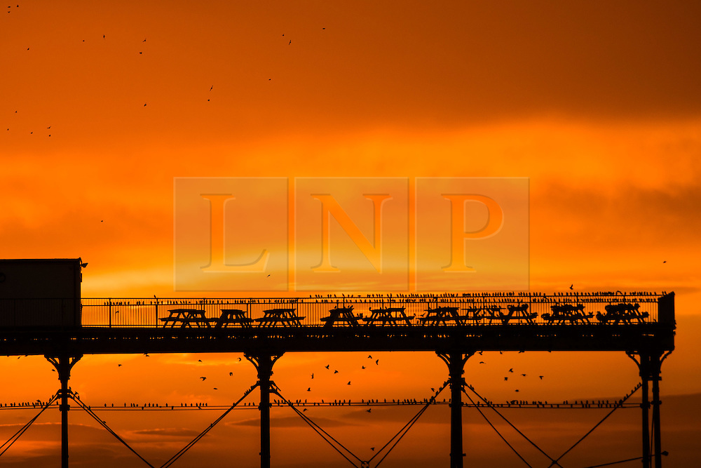 © Licensed to London News Pictures. 27/12/2016. Aberystwyth, Wales, UK. As the sun sets dramatically  at the end of a clear  and freezing cold December day, tens of thousand of starlings perform dramatic murmurations over Aberystwyth  before descending to crowd together and roost safely for the night on the cast iron legs underneath  the town's Victorian  seaside pier. Although seemingly  plentiful in Aberystwyth, the birds are in the RSPB's 'red list' of at risk species, with their numbers across the UK  declining by over 60% since the 1970's .  Photo credit: Keith Morris/LNP