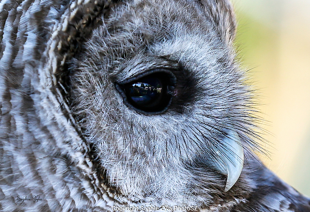 Worldly Reflections in the Eyes of a Barred Owl