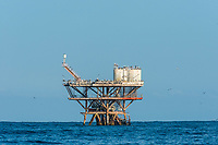 flock of birds in sea oil rig in the peruvian coast at Piura Peru