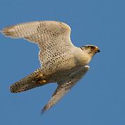 Gyrfalcon in flight. Alaska