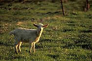 Goats grazing in green grass spring pasture field, Briones Region, rural Contra Costa, California