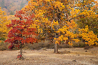 autumn Garry Oak, (Quercus garryana), Klickitat County, WA, USA