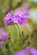 Blooming bird's-eye primrose (Primula farinosa), Kurzeme, Latvia Ⓒ Davis Ulands | davisulands.com