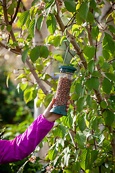 Putting up a hanging bird feeder filled with peanuts in a tree