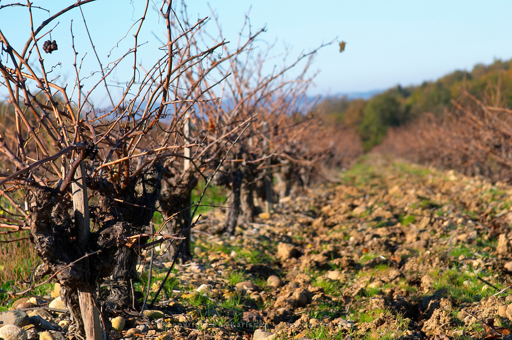 Chateau Rives-Blanques. Limoux. Languedoc. Old, gnarled and twisting vine. Old Mauzac grape vine variety. Terroir soil. France. Europe. Vineyard.