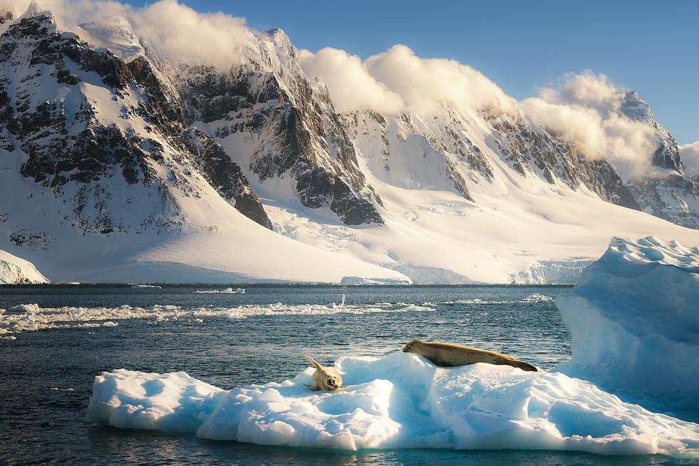 Crabeater seals on ice floe, Antarctic