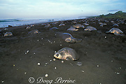 nesting female olive ridley sea turtles, Lepidochelys olivacea, crowd beach during arribada or mass nesting, digging up each others eggs, Ostional, Costa Rica ( Pacific )