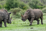 White rhinocerous males make a charging challenge. [secret location] © David A. Ponton