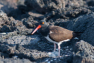 American Oyster Catcher with two eggs on Fernandina island, Galapagos, Ecuador.