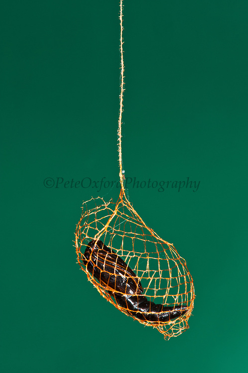 Urodus Moth Cocoon with Pupa or chrysalis (Urodus sp.)<br /> Yasuni National Park, Amazon Rainforest<br /> ECUADOR. South America<br /> HABITAT & RANGE: