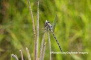 06340-00219 Gray Petaltail (Tachopteryx thoreyi) Washington Co. MO