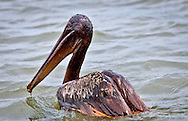Brown Pelican covered in oil on Barataria Bay of the coast of Grand Terre Island found by members of the Sierra Club on a trip to survey the effects of the oil spill. Work has been going on on Grand Terre Island to fight coastal erosion since before the oil leak crisis. The Brown Pelican, Louisiana State bird was taken of the endangered species act in November of 2009. The Pelican was found on the 45 day after the BP oil leak began when the Deepwater Horizon rig exploded in the gulf of Mexico.