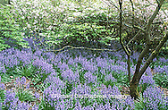 67221-009.07 Wood Hyacinth (Scilla campanulata) & Rhododendrons at Washington Park Arboretum, Seattle  WA