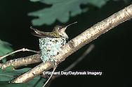 01162-01619 Ruby-throated Hummingbird (Archilochus colubris) female on nest Marion Co. IL