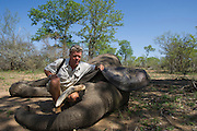 Pete Oxford & Tranquilized elephant<br /> (Loxodonta africana)<br /> Elephants darted from helicopter to be relocated.<br /> Zimbabwe