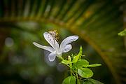 Native White Hibicus, Hawaii