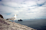 A gannet on Skellig Michael looking East towards The Small Skellig Rocks off Portmagee in County Kerry..Picture by Don MacMonagle...info: photo 2007
