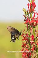 03004-01512 Pipevine Swallowtail (Battus philenor) on Cardinal Flower (Lobelia cardinalis) Marion Co. IL