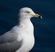 Ring Billed Gull at Eldridge Park, Elmira, NY.