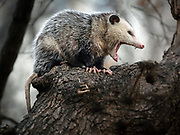 Virginia opossum is in CP, Strawberry Field, NYC