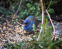 Male Indigo Bunting. Image taken with a Nikon D5 camera and 600 mm f/4 VR lens (ISO 200, 600 mm, f/4, 1/800 sec).