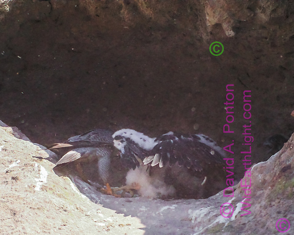 Nestling peregrine falcons compete for prey delivered by adult, creating a dusty melee. [photo by motion-activated camera, low-resolution limits repro. size] © David A. Ponton