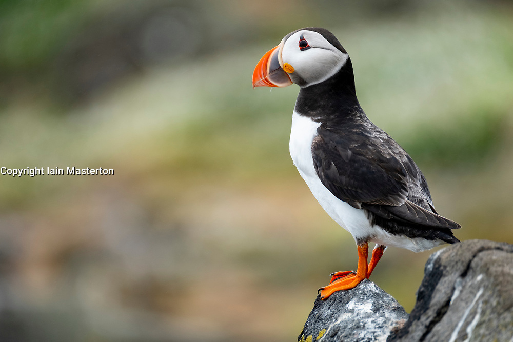 Puffin on Isle of May National Nature Reserve, Firth of Forth, Scotland, UK