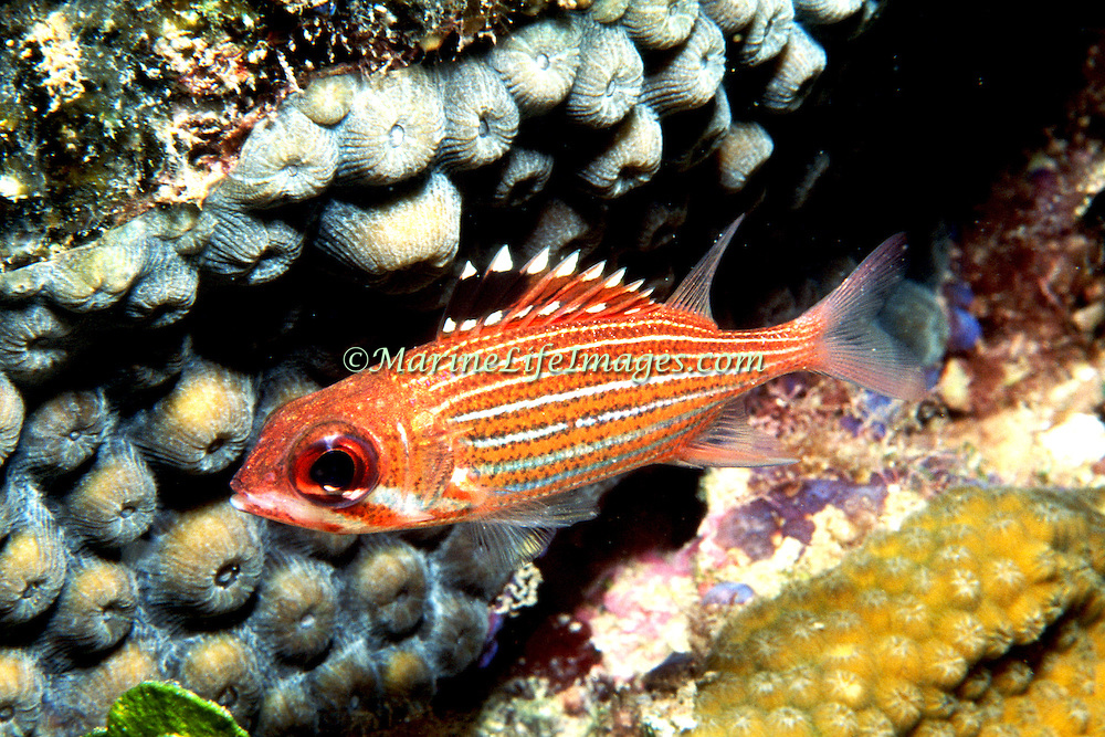 Reef Squirrelfish inhabit shallow inshore to deep offshore reefs, hide in small recesses peeking out occasionally in the Tropical West Atlantic; picture taken St Lucia.