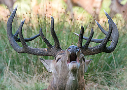 © Licensed to London News Pictures. 18/09/2014. Richmond, UK A Deer stag roars in Richmond Park today 18th September 2014. Autumn sees the start of the 'Rutting' season where the large Red Deer stags can be heard roaring and barking in an attempt to attract females. Photo credit : Stephen Simpson/LNP