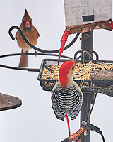 Northern Cardinal (Cardinalis cardinalis), Red-bellied Woodpecker (Melanerpes carolinus). Image taken with a Leica SL2 camera and 90-280 mm lens.