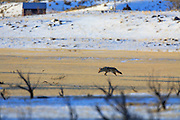 Coyote in Yellowstone National Park, Montana.