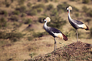 A pair of crowned cranes in the Masai Mara National Reserve, Kenya, Africa
