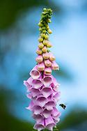 A bee on Digitalis purpurea at Cothay Manor, Greenham, Wellington, Somerset, UK