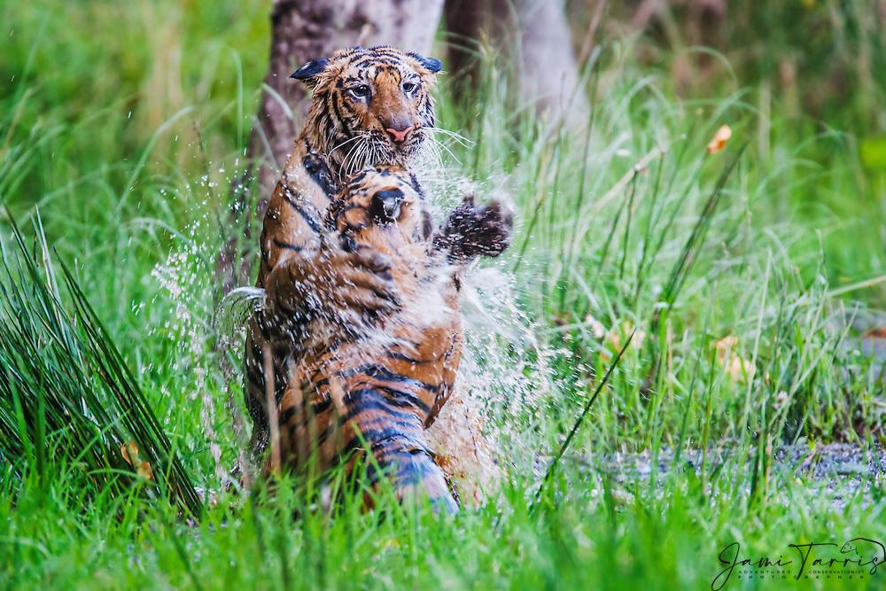 Bengal tigers (Panthera tigris tigris) pair playing in a water hole