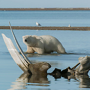 Polar bear (Ursus maritimus) and glaucous gulls (Larua hyperboreus) near a whale bone. Alaska