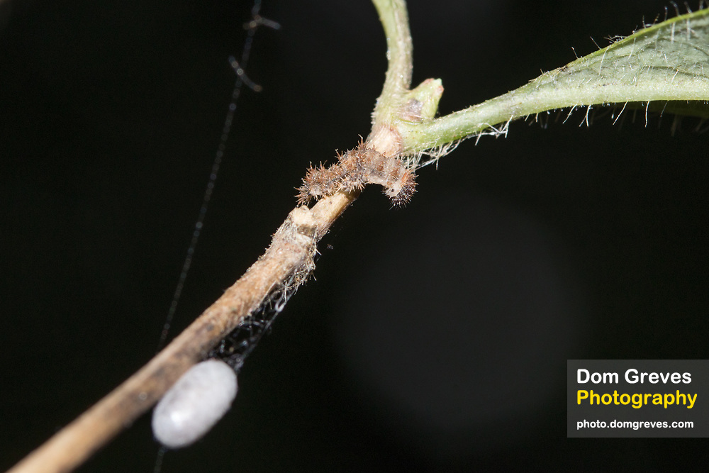 White admiral (Limenitis camilla) larval remains with wasp cocoon suspended below.