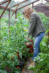 Watering container grown tomatoes in a greenhouse using a watering can
