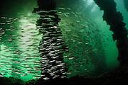 Three-spined stickleback (Gasterosteus aculeatus). Kieler Förde, Baltic Sea, Germany | Dieser große Schwarm Dreistachliger Stichlinge (Gasterosteus aculeatus) ist in der Kieler Förde beheimatet. Er lebt sowohl im Süß- als auch im Salzwasser, wobei er zur Laichzeit ins Süßwasser wandert. Andere Populationen der gleichen Art leben ausschließlich im Süßwasser. Kieler Förde, Ostsee, Deutschland