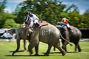 "29 AUGUST 2013 - HUA HIN, PRACHUAP KHIRI KHAN, THAILAND: Elephants charge upfield during the The Devil vs. King Power Duty Free game at the King's Cup Elephant Polo Tournament in Hua Hin. King Power defeated the Devil. The tournament's primary sponsor in Anantara Resorts and the tournament is hosted by Anantara Hua Hin. This is the 12th year for the King's Cup Elephant Polo Tournament. The sport of elephant polo started in Nepal in 1982. Proceeds from the King's Cup tournament goes to help rehabilitate elephants rescued from abuse. Each team has three players and three elephants. Matches take place on a pitch (field) 80 meters by 48 meters using standard polo balls. The game is divided into two 7 minute ""chukkas"" or halves. There are 16 teams in this year's tournament, including one team of transgendered ""ladyboys.""    PHOTO BY JACK KURTZ"