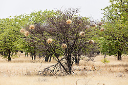 Bird nest on tree branch at Etosha National Park, Namibia, Africa