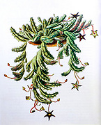Stapelia hirsuta, Botanical illustration from c 1810 The common names are starfish flower or carrion plant
