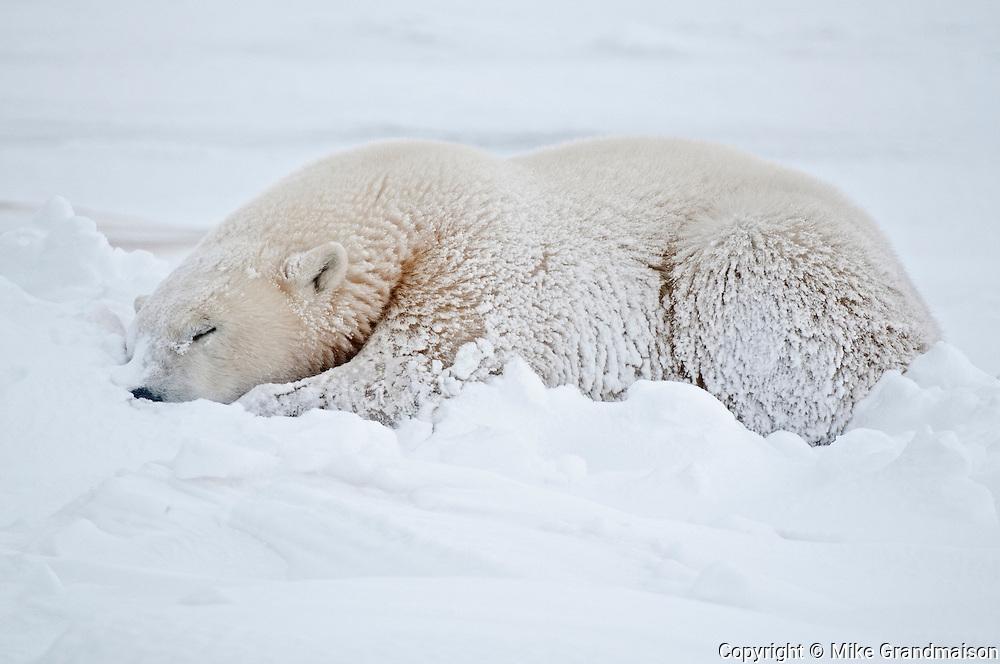 Polar bear Ursus maritimus lying on frozen tundra<br /> Churchill<br /> Manitoba<br /> Canada